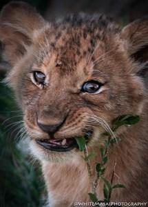 Cub White Masai