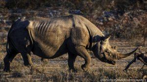 Rhino - White Masai