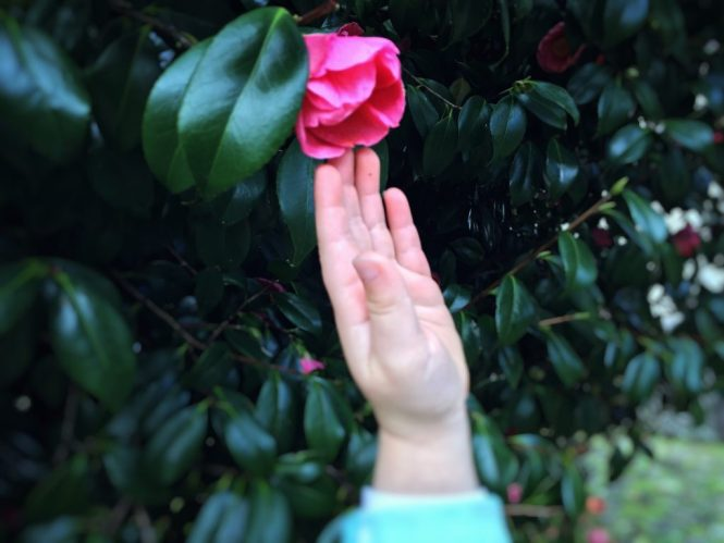 Enjoying the beauty of a pink camellias in bloom