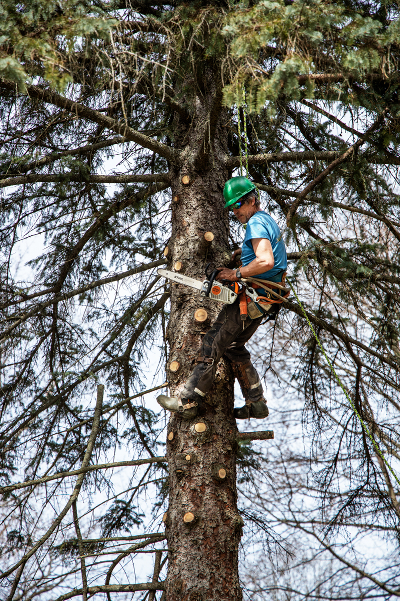 White Falcon Arborist climbing tree