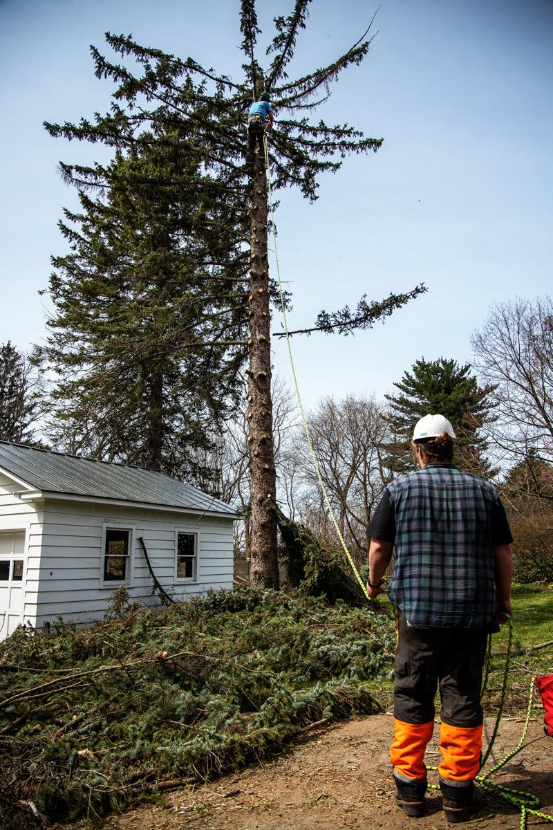 White Falcon team tree work