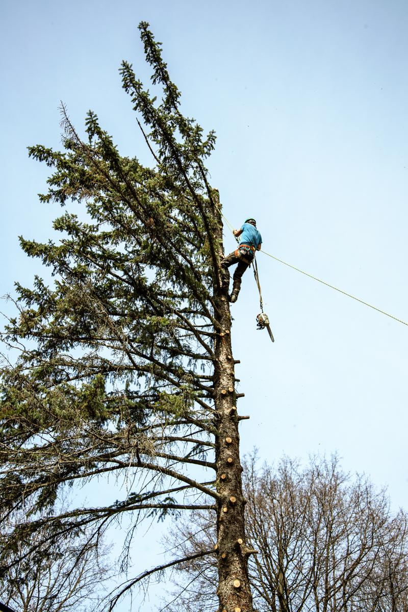 White Falcon Jonathan arborist climbing