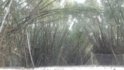 Bamboooooo