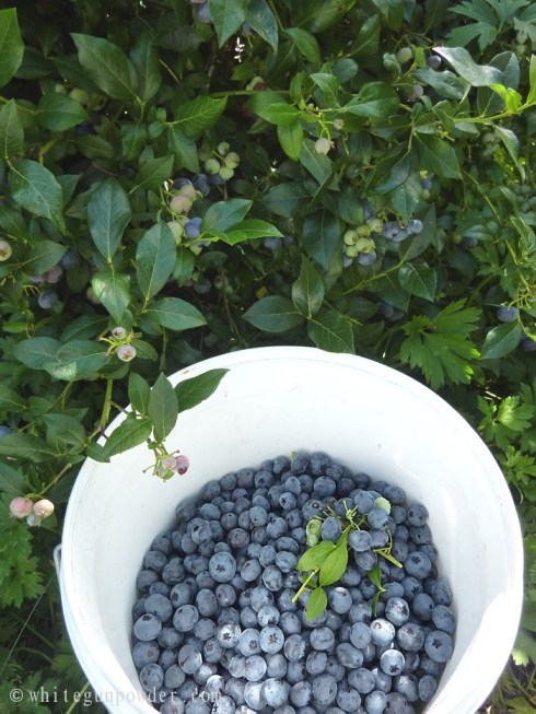 bucket full of blueberries