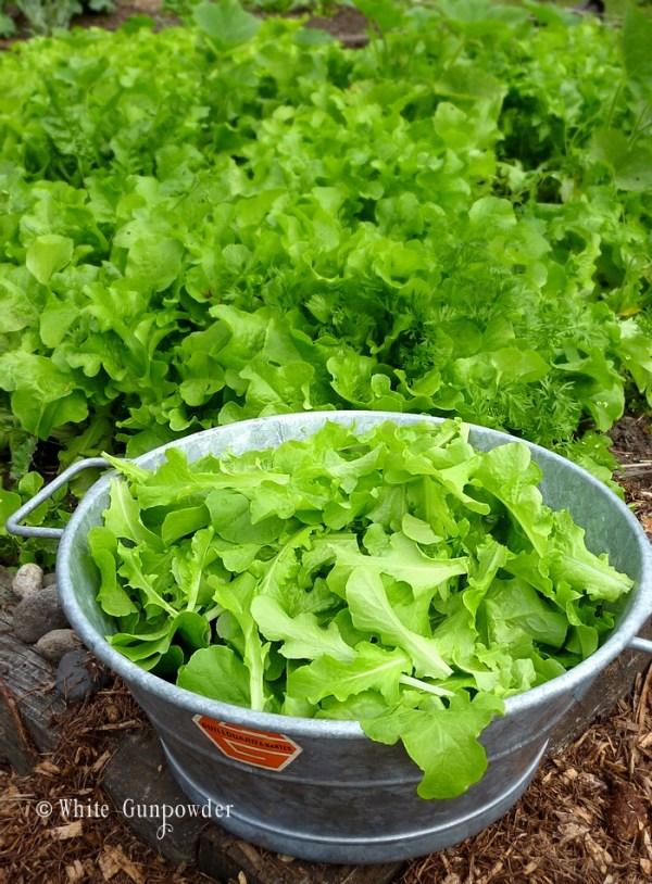 Garden - lettuce