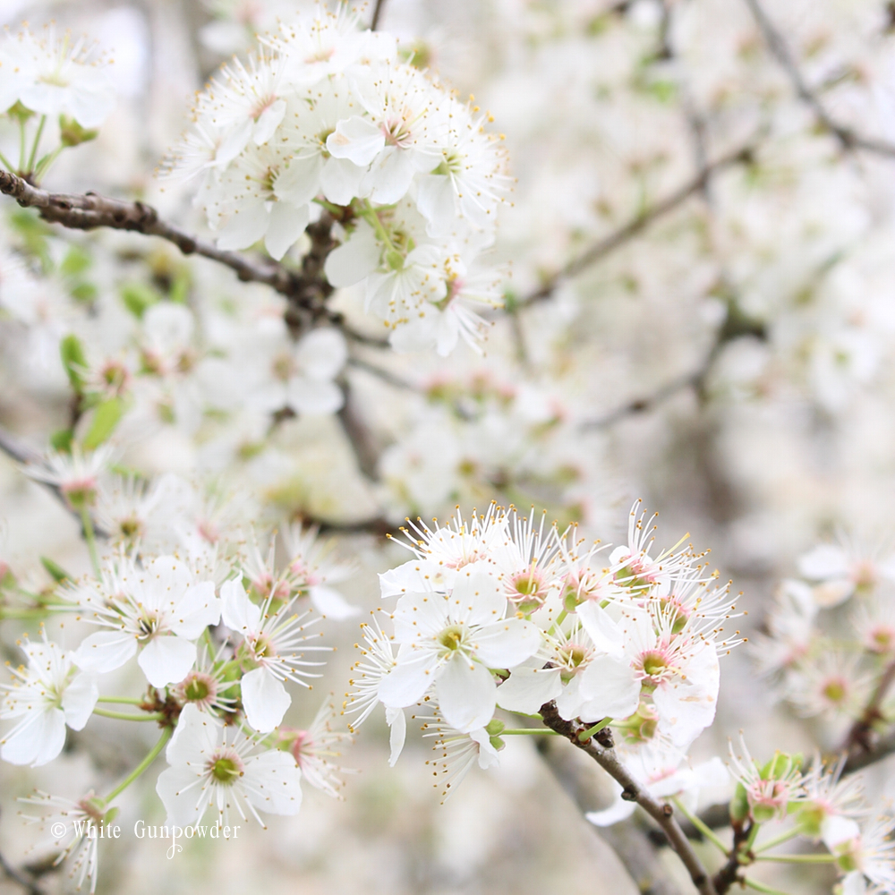 spring flowers blossoms for decorating your home white gunpowder the plum tree was the first of all the fruit trees on our property to bloom this spring for about three weeks the branches were covered with white flowers