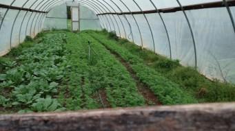 Turnips/Carrots