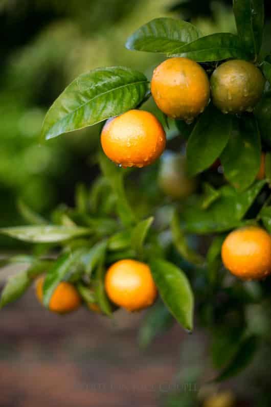 Best Orange Chicken Recipe from Fresh Orange Juice | @whiteonrice