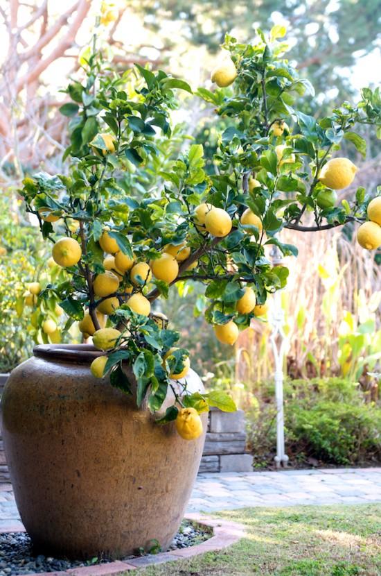 grow lemon tree in pot