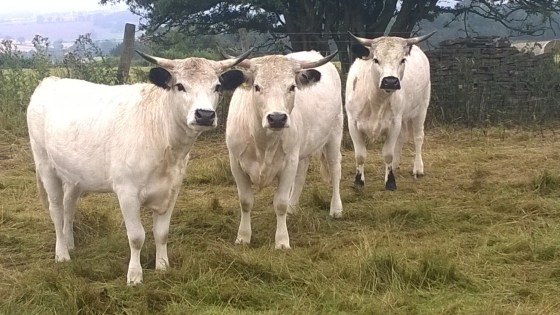 WP Heifers 326, 327 & 328