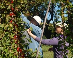 Harvesting wu wei zi (Sally and Jean) photo Regina Serkin