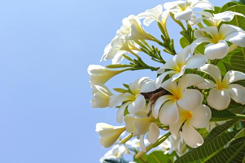 frangipani absolute