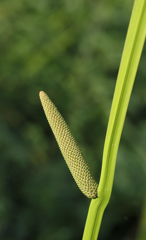 calamus essential oil 3