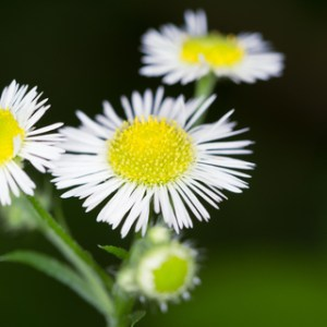 fleabane essential oil 2