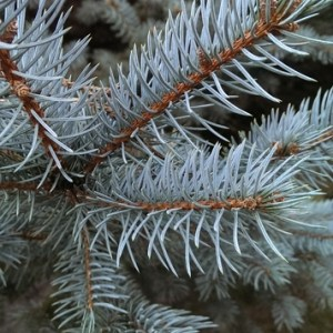 white fir essential oil 2