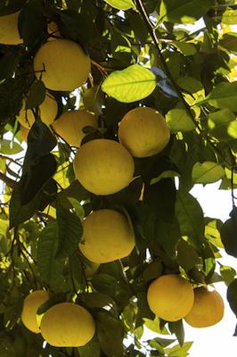 white grapefruit essential oil 2