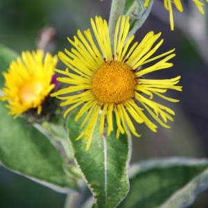 inula essential oil 2
