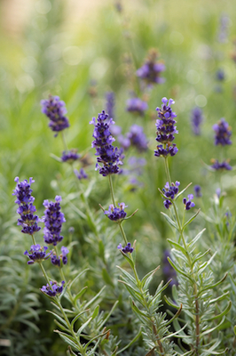 lavender bulgarian essential oil 2