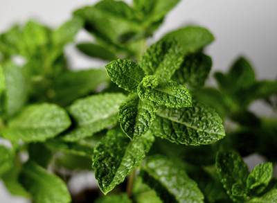 peppermint essential oil 2