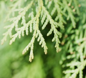 thuja essential oil 2