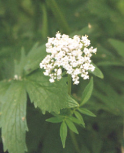 valerian essential oils 2