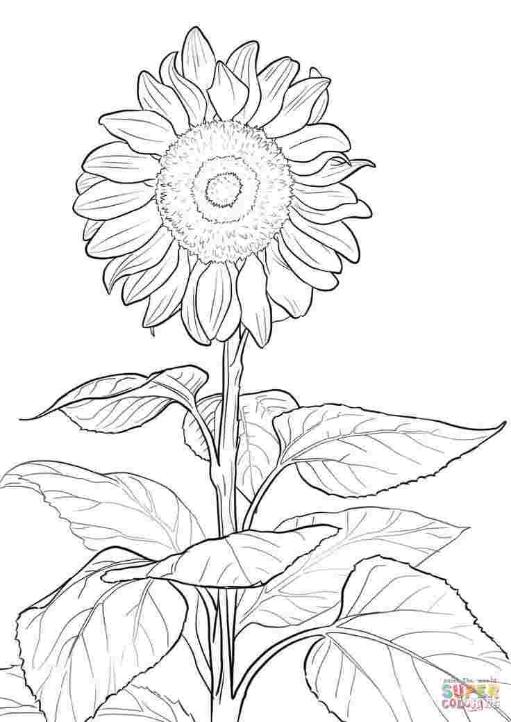 coloring pages for adults sunflowers sunflower coloring