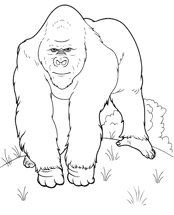 high quality realistic picture to color of a gorilla to