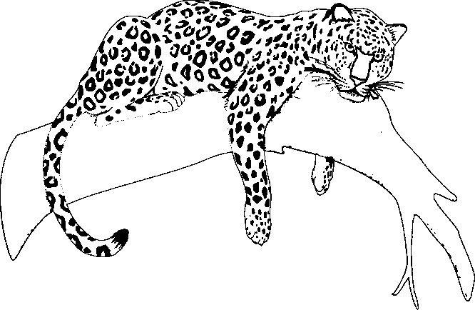 jaguar coloring pages 05 tierbilder schultte basteln und