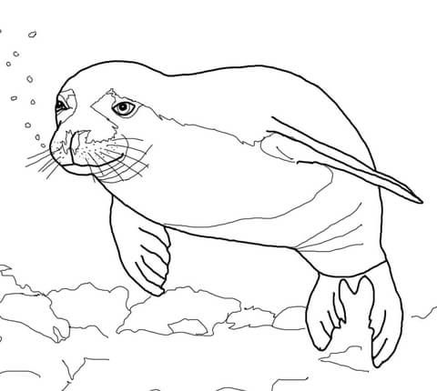 Seal Coloring Pages Picture Whitesbelfast