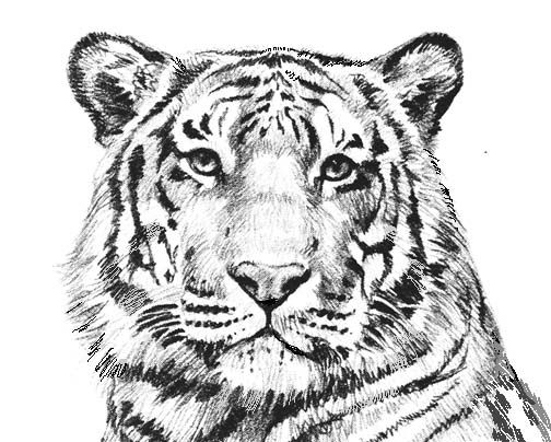 Tiger Coloring Pages Collection Whitesbelfast