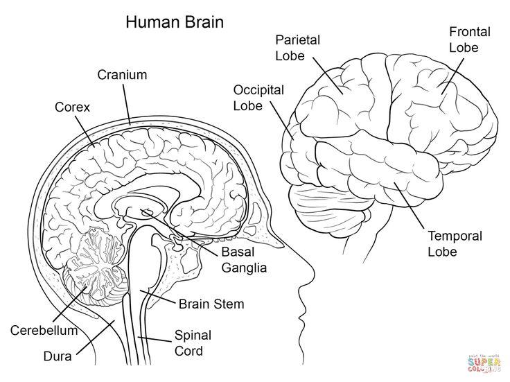 human brain anatomy super coloring human brain anatomy