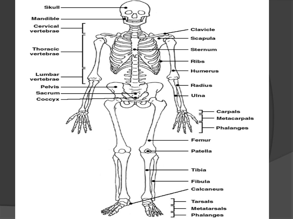 ppt the skeletal system powerpoint presentation free