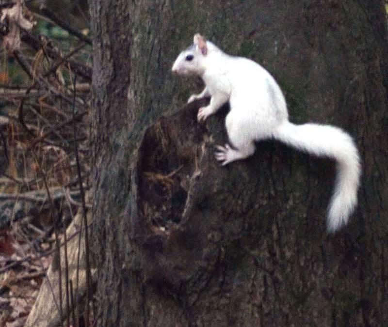 Brevard's White Squirrels' Distinctive Pattern!