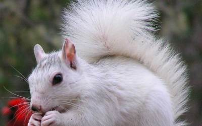 What is a White Squirrel?