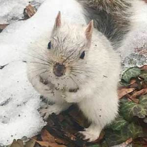 white squirrel in snow