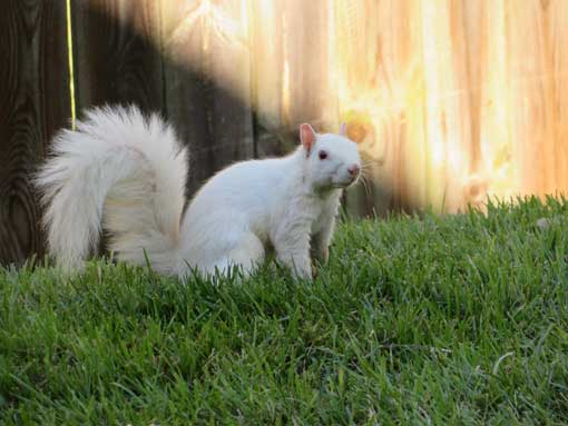 White squirrels make the news…again