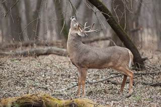 whitetail buck on licking branch