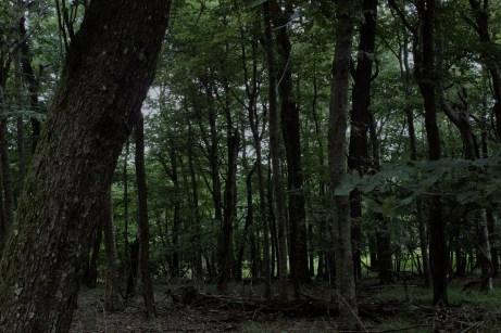 dark trees 1