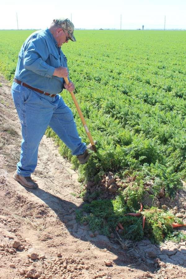 Farmer Picking Carrots