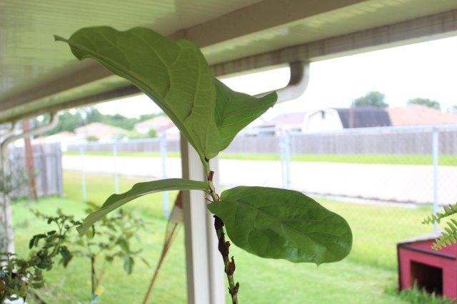propagating a fiddle leaf fig tree   fiddle fig leaf tree