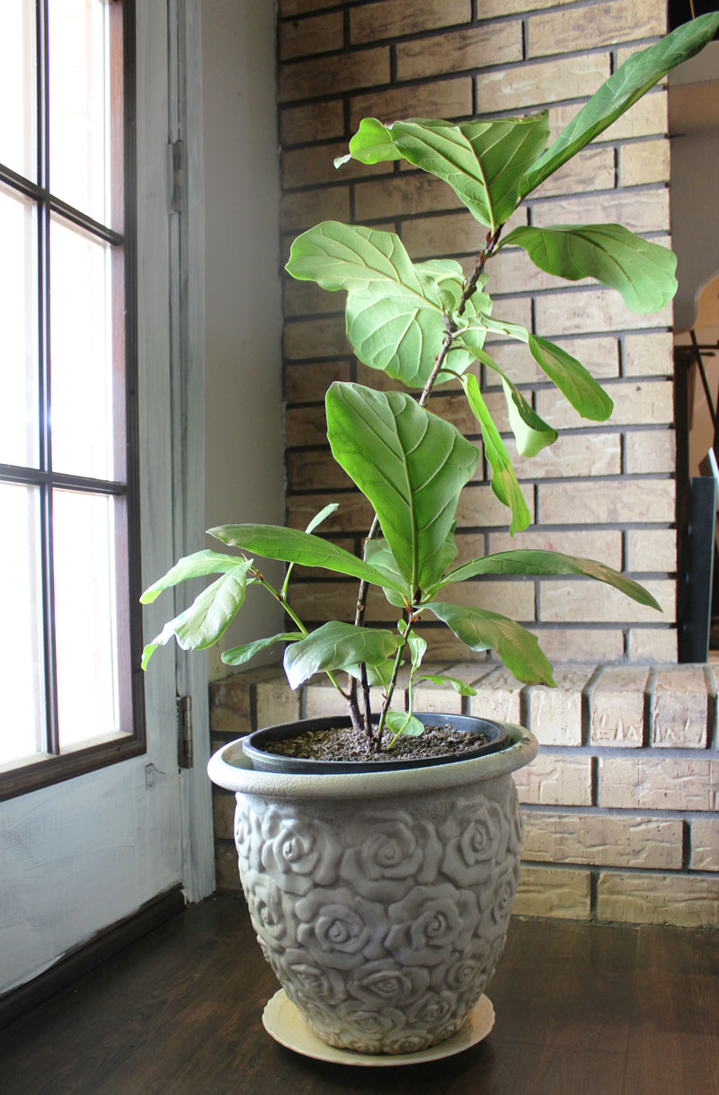 fiddle leaf fig tree | propagating a fiddle leaf fig tree | fiddle leaf fig tree tips