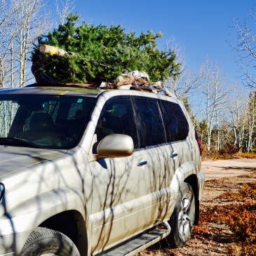 A green Christmas tree is tied to the top of a beige SUV to be driven home.