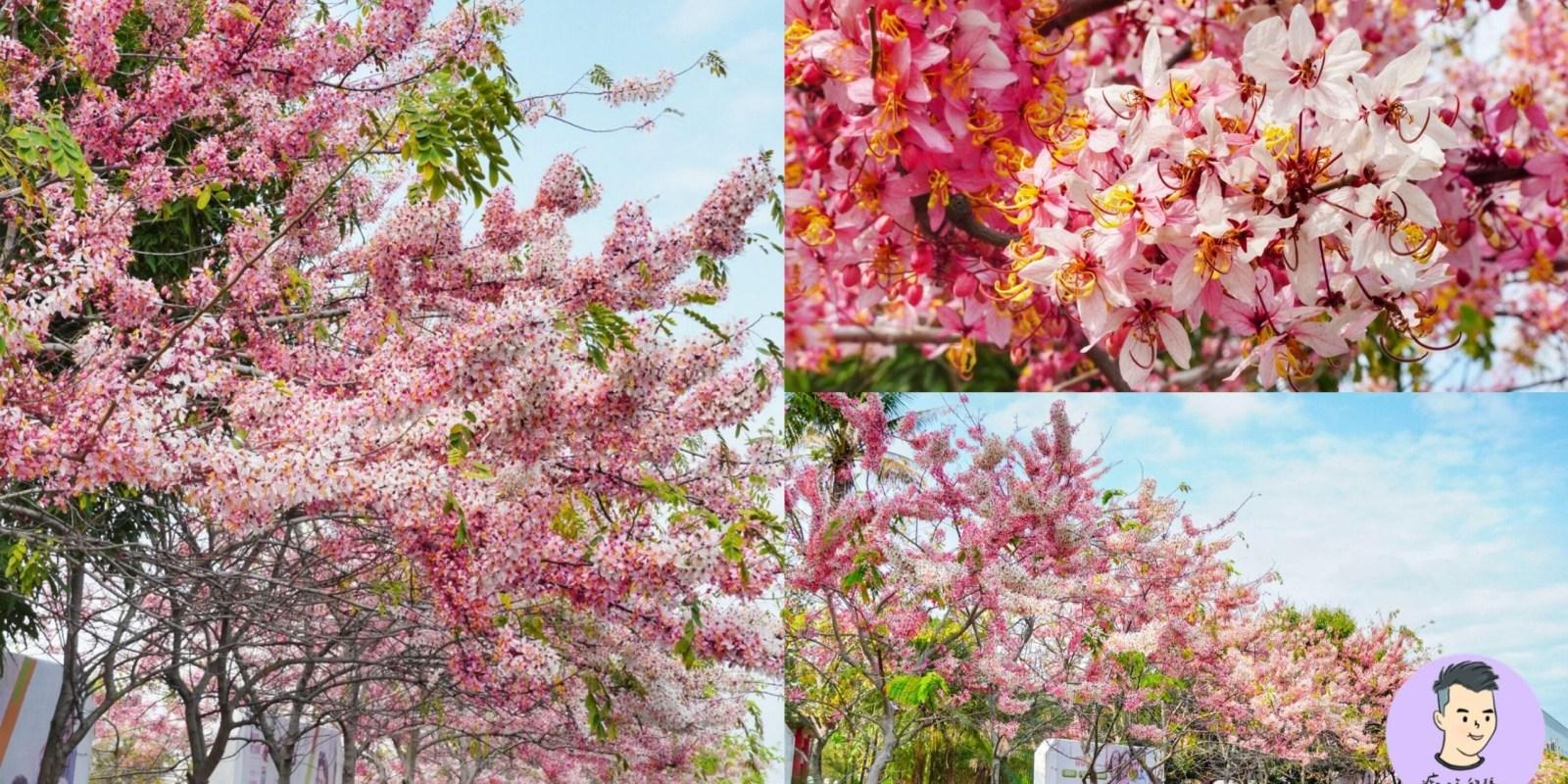 【台南賞花】不用出國看櫻花!台南也有超美「新市花旗木」整排浪漫粉白色步道 最近剛綻放~~連假賞花好去處