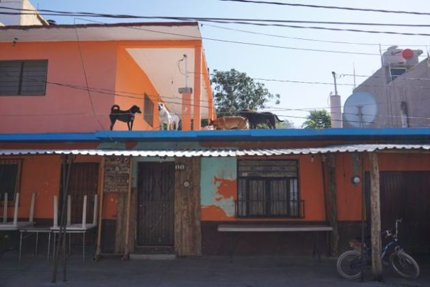 mexico dogs