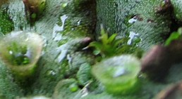 liverwort trumpet side-view