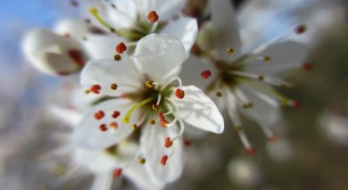 blackthorn is blooming ...