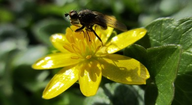 hoverfly on celandine