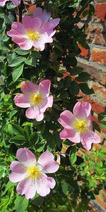 rosa canina -- églantier