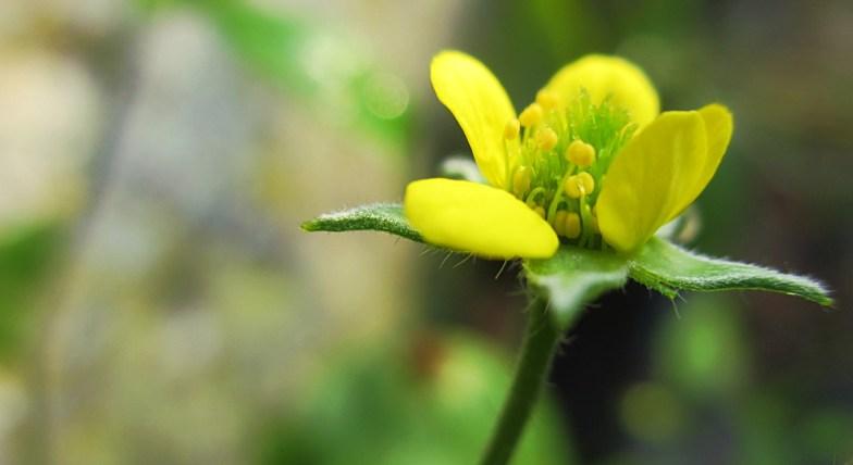 .. geum flower .. (click to enlarge)