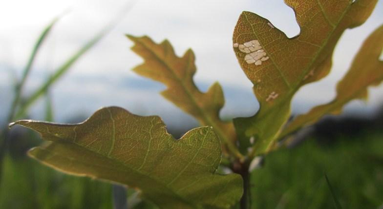.. Summer Oak .. Quercus Robur .. (click to enlarge ..)